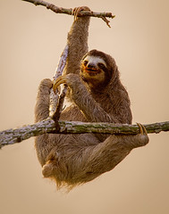 Three-toed Sloth (Eric Gofreed) Tags: canopytower panama threetoedsloth