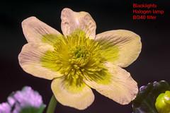 Caltha palustris (Herman1705) Tags: calthapalustris dotterbloem rodagon rodenstock 80mm a500 bg40 blacklight uv ultraviolet vis
