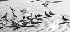 Stool pigeon. ((c) MAMF photography.) Tags: britain blackwhite blackandwhite bw biancoenero beauty blancoynegro blanco blancoenero city dark d7100 enblancoynegro england flickrcom flickr flight feeding google googleimages gb greatbritain greatphotographers greatphoto inbiancoenero image images interesting leeds ls1 leedscitycentre mamfphotography mamf monochrome nikon noiretblanc noir nikond7100 north negro northernengland onthestreet photography photographer pretoebranco pigeon pigeons road schwarzundweis schwarz street town uk unitedkingdom upnorth westyorkshire yorkshire zwartenwit zwartwit zwart wit