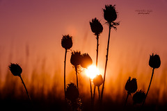 when you said ... goodbye (mariola aga) Tags: meadow winter evening sunset plants sun light backlight twilight nature silhouette thegalaxy infinitexposure platinumheartaward saariysqualitypictures