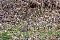 Ground hog 4-5-17 4 (sw_bobster) Tags: woodchuck
