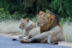 Roadside lovers (leendert3) Tags: africanlion ngc coth5 specanimal specanimalphotooftheday sunrays5