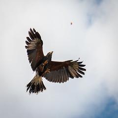 Golden Eagle (Mike McHolm) Tags: canada d80 grousemountain mcholm mikemcholm nikon vancouver