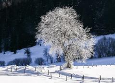 Im weißen Kleid (Panasonikon) Tags: panasonikon gvario1232 winter schnee baum tree rauhreif landschaft landscape explore östereich austria alpen alps panasonic dmcgm1