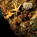 Nectria macrobrachia - Large-plated seastar (2)