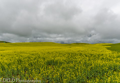 NT3.0033-CW1605618_38676 (LDELD) Tags: palouse pullman washington unitedstates us canola field plouse flowers yellow storm clouds stormy spring