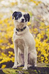 12/52 - proud girl (stephubik) Tags: bubak 52weeksfordogs portrait dog outdoor yellow spring