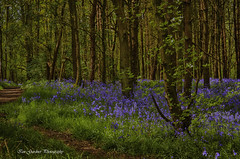 Bluebells (IAN GARDNER PHOTOGRAPHY) Tags: bluebells spring woods landscape hdr pathway blue