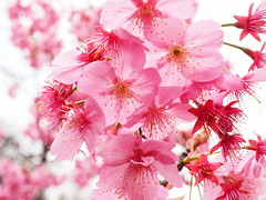 Too beautiful for words! (Digidoc2) Tags: cherryblossom tokyo japan cherry delicate blossom tree pink beautiful flowers