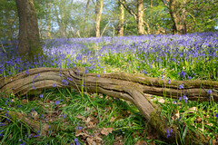 Bluebells Embrace (Paul C Stokes) Tags: bluebell bluebells wood woods bluebellwood spring easter priors priorswood portbury 2017 sony a7r zeiss 1635 handheld photoshop elements early sunrise grass grassy trees sunlight haze beauty beautiful fallen log branch