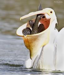 Glutony (noellejorge) Tags: beak majestic pleco bigfish americanwhitepelican pelican