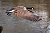 Lift off (stevehimages) Tags: steve steveh stevehimages sutton coldfield wowzers warden west midlands bird goose canadian 2017 taking flight river tame birmingham grandpasden grandpas den