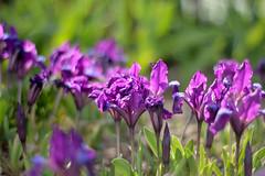 Festival (Alexandra Horvath) Tags: nature outdoor garden spring flowers yongnuo nikon nikond3200 plant hungary bokeh