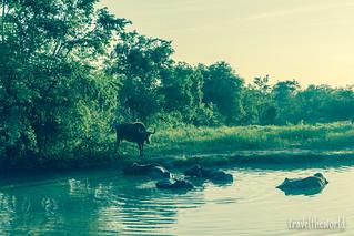 Búfalos indios