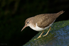 Spotted Sandpiper (markvcr) Tags: spotted sandpiper shorebird wader