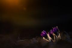 Last light (MichaelMerl) Tags: nikon 2017 märz frühling spring kuhschelle küchenschelle pulsatilla vulgaris bayern bavaria oberpfalz