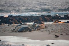 Poipu Beach Park (Kosen Ishikawa) Tags: kauai hawaii seal monkseal honu turtle