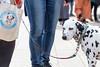 """Dalmatiner Girl """"Natashya"""" with her own bag (wuestenigel) Tags: locationindependent dalmatiner digitalnomad running foodblogger laufen tokio tokyomarathon2017 puppy travel jutebeutel reiseblogger dog tokyo marathon worldmajormarathons reisen japan hund taitōku tōkyōto jp people menschen mammal säugetier portrait porträt pet haustier one eins adult erwachsene dragrace canine eckzahn dalmatian fun spas animal tier young jung police polizei person competition wettbewerb man mann friendship freundschaft woman frau exhibition ausstellung"""