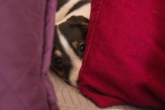 Hiding Behind the Pillows (marylea) Tags: mar6 2017 dooley dog puppy parsonrussellterrier parsonrussell jackrussellterrier jackrussell peeking terrier