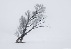 The Dance of the Cottonwoods (Michael_Underwood) Tags: winter snow tree landscape cold fog weather branch nature frost wood frozen ice alone season noperson scenic dawn mist solitude trees embrace dance cottonwoods gunnison crestedbutte colorado