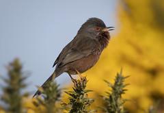 Male Dartford Warbler (Chris Bainbridge1) Tags: sylviaundata male dartford warbler suffolk heathland gorse canon eos 5dsr