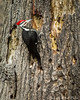Pileated Woodpecker_0512 (smack53) Tags: smack53 woodpecker bird pileatedwoodpecker creature animal allgodscreatures wildlife nikond3100 nikon d3100 westmilford newjersey spring springtime