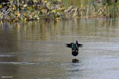 African Pygmy Goose (naturalturn) Tags: fly africanpygmygoose duck goose pygmygoose river okavangoriver moremi moremigamereserve okavangodelta okavango delta botswana image:rating=5 image:id=204201