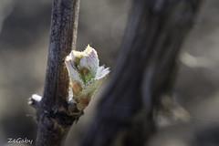 Week #14 (ZeGaby) Tags: champagne macrophotography naturephotography pentax100mmmacro pentaxk1 vignes vines mutigny grandest france fr