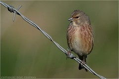 "Linnet ( Carduelis cannabina ) (DaveChapman ""If it flies,I shoot it"") Tags: linnet cardueliscannabina bird twig branch barbed wire small feathers wings beak"