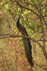 National Bird Of INDIA (aadi.juvekar) Tags: peacock bird peacockblue peacockgreen beautifulbird