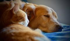 Our gingers (Kreative Capture) Tags: golden retriever dog cat pet ginger orange fur sleeping friends playmates pets nikon nikkor d7100 animal animals indoor