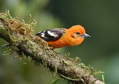 Flame-colored Tanager - male (anacm.silva) Tags: flamecoloredtanager tanager ave bird wild wildlife nature natureza naturaleza birds aves sangerardodedota costarica pirangabidentata