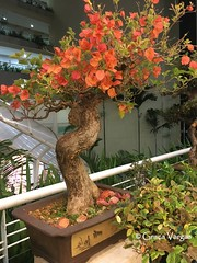 bonsai (✿ Graça Vargas ✿) Tags: graçavargas ©2017graçavargasallrightsreserved flower bonsai bouganvillea primavera tree appleiphone6s iphone bouganvilia ñflowers