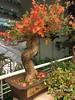 bonsai (✿ Graça Vargas ✿) Tags: graçavargas ©2017graçavargasallrightsreserved flower bonsai bouganvillea primavera tree appleiphone6s iphone bouganvilia 77604250217