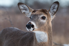 Bucky Close Up (NicoleW0000) Tags: whitetaileddeer deer wild wildlife photography animal outdoors