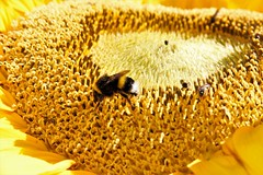 (jmadrid93) Tags: sunflower girasol flores flowers flor flower amarillo yellow insects insect insectos insecto animals animales animal bee abejas abeja