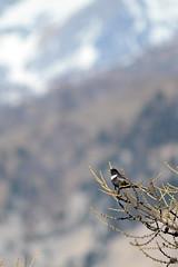 LEO_7857m (MILESI FEDERICO) Tags: milesifederico milesi montagna italia italy iamnikon inmontagna piemonte piedmont primavera wild nikon nikond7100 nital natura nature nat visitpiedmont valdisusa valsusa valledisusa valliolimpiche alpi alpicozie altavallesusa altavaldisusa europa europe d7100 dettagli 2017 cittàmetropolitanaditorino salbertrand bird uccello volatile fauna animale wildlife