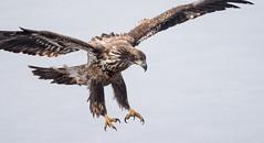 IMG_6258 Bald Eagle (Wallace River) Tags: aboiteau baldeagle bito icefishing wallacebay