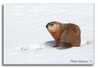 103A0451-DL   Elle a vu son ombre ou pas la marmotte? J'ai hâte au vrai printemps ;-))