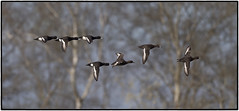 Tufted Duck (CliveDodd) Tags: tufted duck