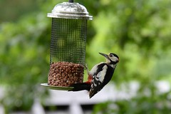 Great-spotted Woodpecker  (Dendrocopus major) male (Brian Carruthers-Dublin-Eire) Tags: woodpeckers picidae dendrocopos major great spotted woodpecker pic epeiche buntspecht carpintero picapinos grote bonte specht mórchnagaire breac piciformes bird animalia animal dendrocoposmajor greatspottedwoodpecker picepeiche carpinteropicapinos grotebontespecht wildlife