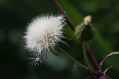 DSC_3331.jpg (Jim Martellotti) Tags: chinohills flowers dandelion white