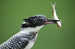 Nip (Hi ro ki) Tags: nikon d810 japan aichi kingfisher crested 600mm f4 flush bird ヤマセミ 鮎 山翡翠 野鳥 wild