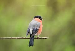 Bullfinch (Emma Carr Photography) Tags: bird photography penningtonflash nerd nature wildlife pennington flash