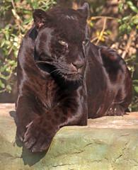 jaguar Mowgli artis BB2A8193 (j.a.kok) Tags: mowgli jaguar pantheraonca southamerica zuidamerika blackjaguar artis kat cat predator roofdier zoogdier animal dier