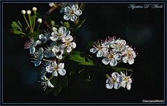 Fiori di biancospino - Aprile-2017 (agostinodascoli) Tags: fiori nature texture cianciana sicilia agostinodascoli macro nikonclubit