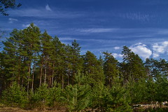 "Pine tree ""stairs"" (МирославСтаменов) Tags: russia moscowregion pine tree crown coniferous cutting glade sky cloudscape sapling forest"