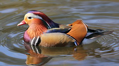 IS7DII_33871 (Ian Slingsby) Tags: mandarinduck endcliffepark sheffield bird duck