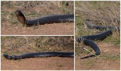 Red Bellied Black Snake (keithob1 Over 1.5 Million views - Thank you) Tags: snake redbelliedblacksnake