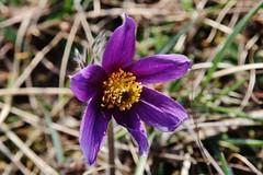 Wild Flower (Hugo von Schreck) Tags: hugovonschreck gewöhnlichekuhschelle pulsatillavulgaris flower blume blüte wildblume wildflower macro makro canoneos5dsr tamron28300mmf3563divcpzda010
